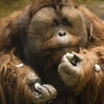 Orangutan males can weight 200-250 kg