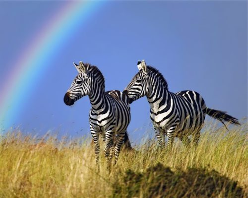 Zebras are very attractive to us