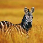 Zebra – striped horse