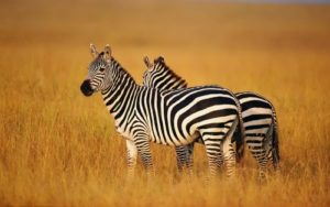 Zebras – graceful animals