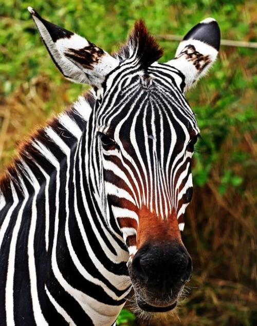 Zebra – striped horse