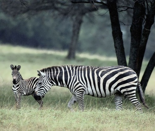 Mother and her striped baby