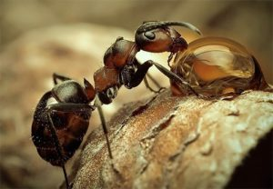 Drinking ant