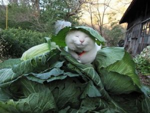 Sleeping cabbage