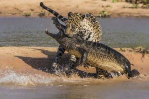 Crocodile vs Leopard
