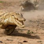 Running crocodile