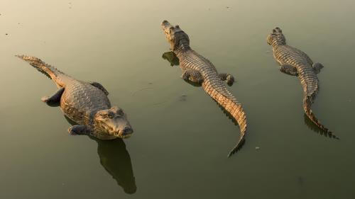 Crocodile – the largest reptile