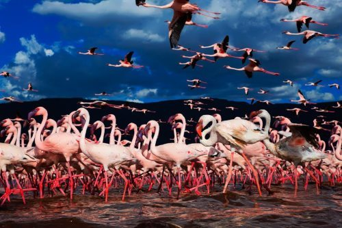 Large flock of flamingoes