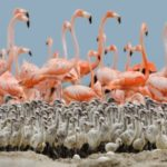 Flamingoes and their young