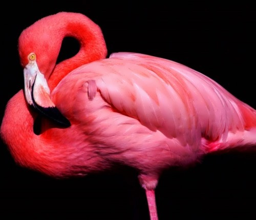 Flamingo – beautiful bird