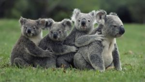 Funny koalas