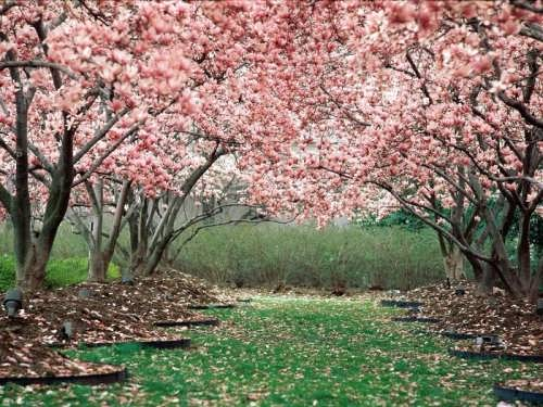 Sakura blossoms remind us that life is very short, because the blossoms last for very little time