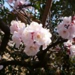 Sakura – Japanese cherry