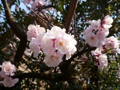 Sakura – Japanese cherry