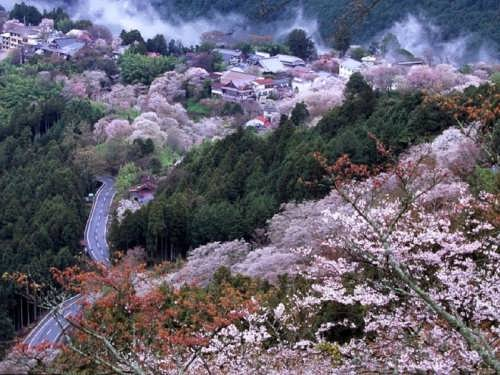 Every year the National Cherry Blossom Festival takes place
