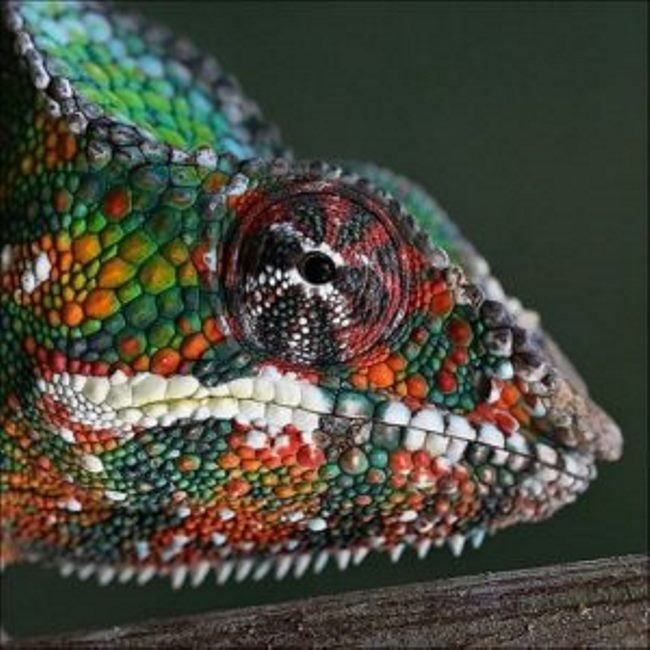 Chameleons – colorful lizards