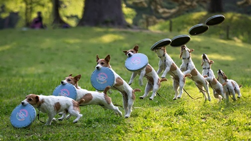 Dog Frisbee is very popular