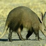 Aardvark – amazing animal