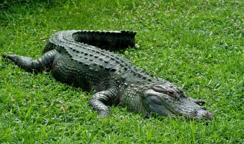 Misconceptions about animals. crocodile