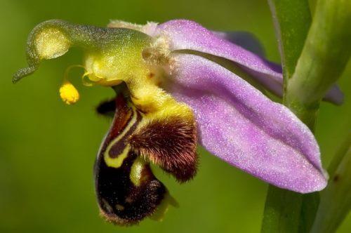 Оphrys apifera