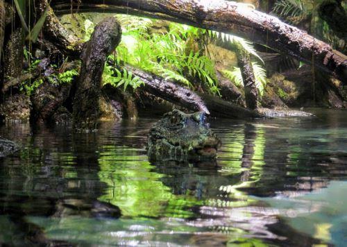 Amazon crocodile