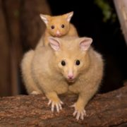 Australian possum with cub