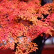 Admiring Red Maple leaf Japanese tradition