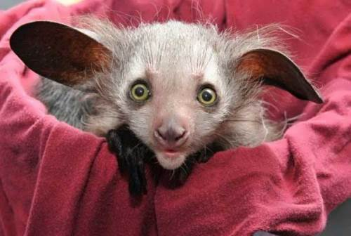 Little cute aye-aye