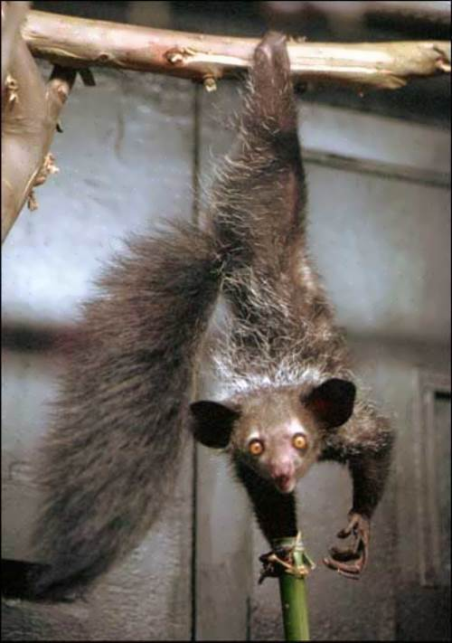 Aye-aye - most bizarre of all primates
