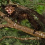 Aye-aye on the branch