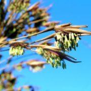Bamboo flowering