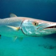 Awesome Barracuda