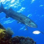 Barracuda – fierce fish
