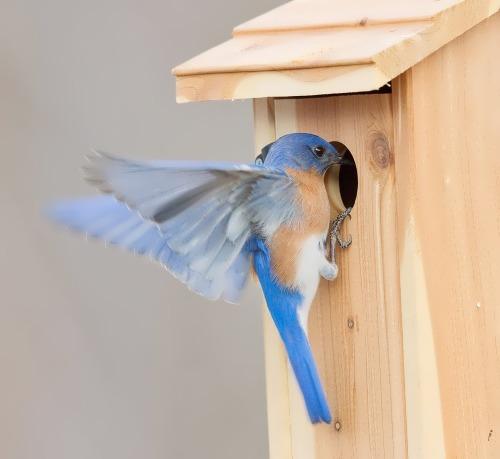 Bluebird in the artificial nest box