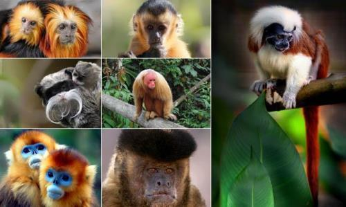 Brazilian monkeys