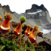 Calceolaria Uniflora