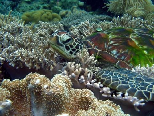 Turtle in corals