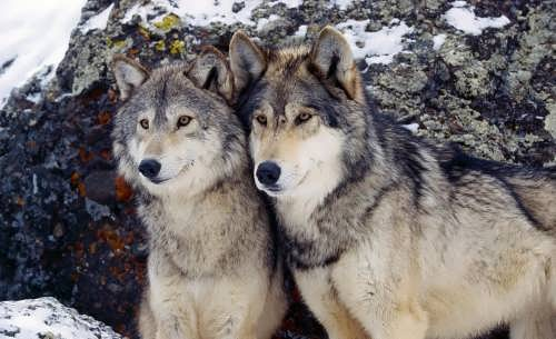 Couple of wolves