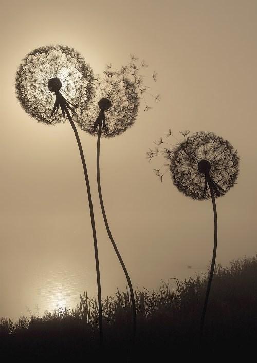 Dandelion in pictures