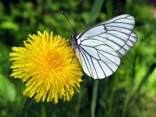 Dandelion and butterfly