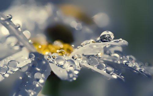 Dew on daisy