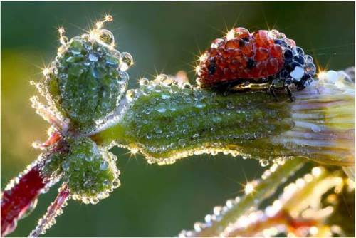 Ladybird covered with dew