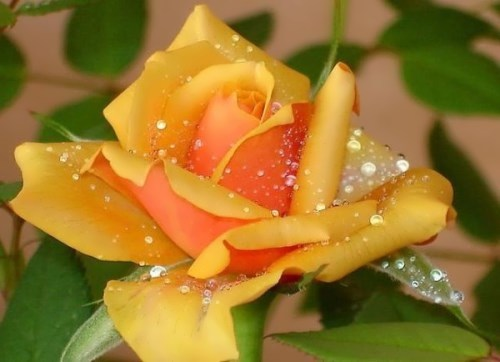 Dew on the rose