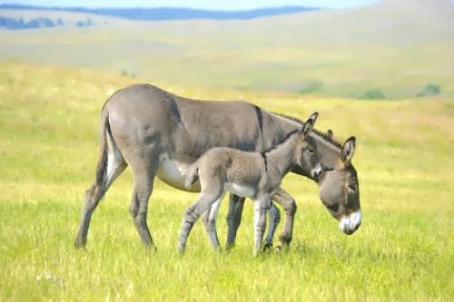 Little donkey and its mother