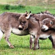 Cute miniature donkeys