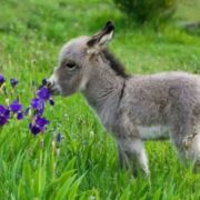 Lovely miniature donkey