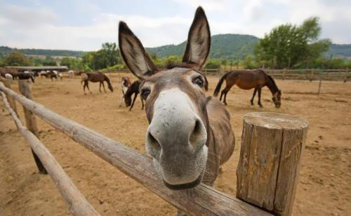 Donkey - Beast of Burden