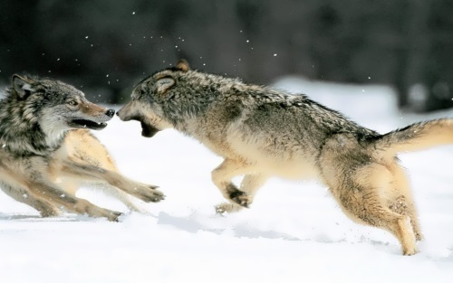Fight of the wolves