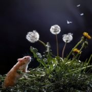 Hamster and dandelions