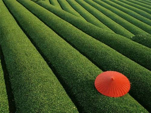 Tea field in Kakegawa. Photo by Steve Vidler